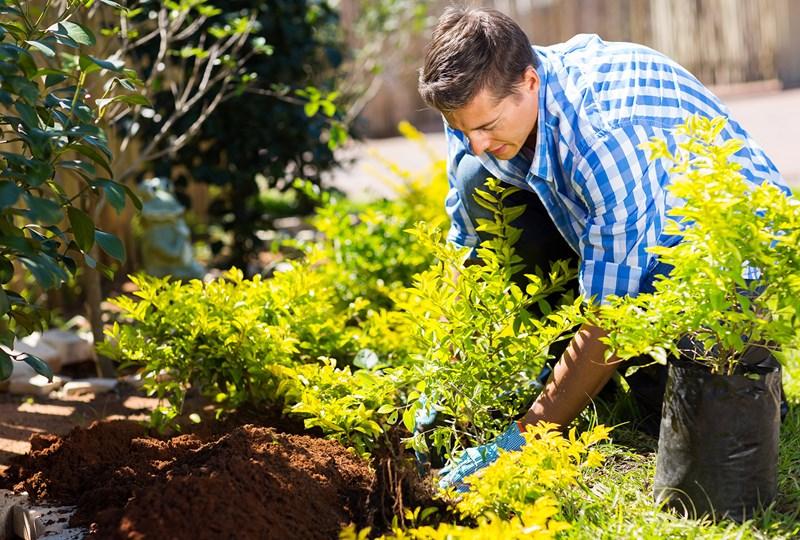 man planting a shrub