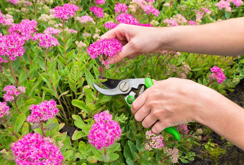 How to cut back perennial plants in the fall